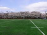 遂に完成した満開の桜の下の人工芝グランド