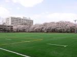 満開の桜と人工芝グランド